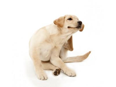 Что надо знать про аллергию у собак